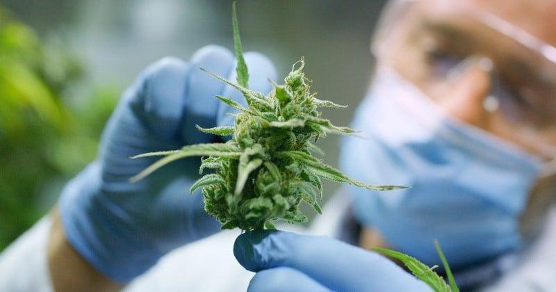 L'ONU retire officiellement le cannabis de la liste des drogues dangereuses et confirme son utilité médicale