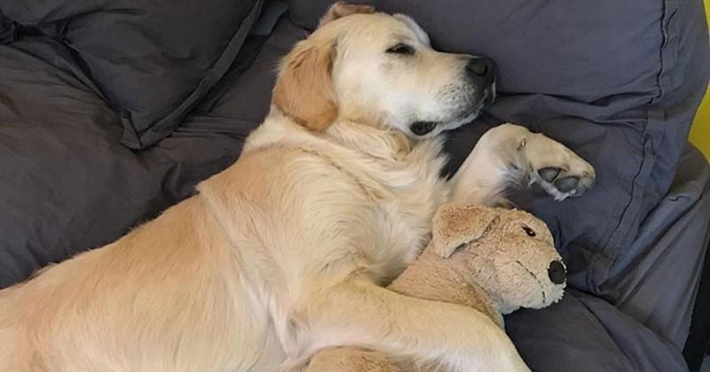 Cet adorable chien ne sort pas de chez lui sans sa peluche golden retriever