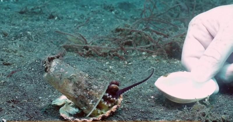 Un plongeur tente de convaincre un bébé poulpe d'abandonner son verre en plastique en échange d'un coquillage