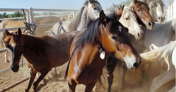 belle nouvelle pour les d fenseurs de la cause animale les 45 000 chevaux sauvages qui. Black Bedroom Furniture Sets. Home Design Ideas