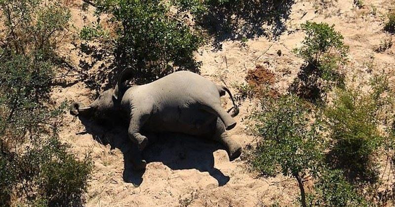 La cause de la mort d'une centaine d'éléphants au Botswana a été dévoilée