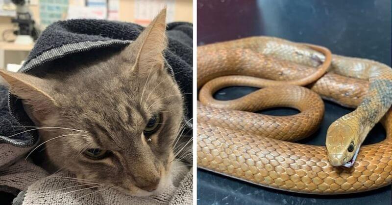 En Australie, un chat sacrifie sa vie pour sauver deux enfants d'une attaque de serpent