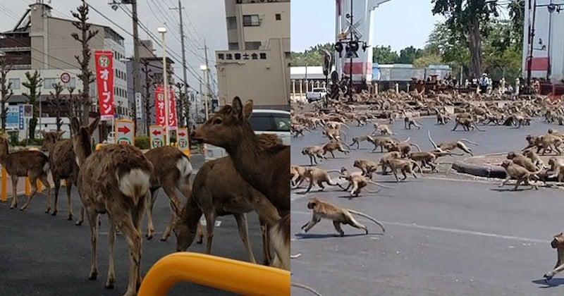 Des animaux en pleine liberté font leur loi dans des villes désertes où les populations sont confinées chez eux