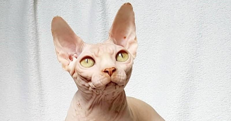Le sphynx, une race de chat d'exception