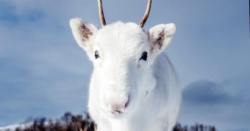 Les photos d'un rare bébé renne blanc aperçu en Norvège
