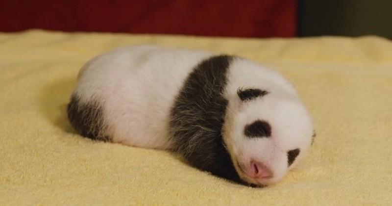 Âgé d'à peine 1 mois, ce bébé panda, né dans un zoo américain, est beaucoup trop mignon