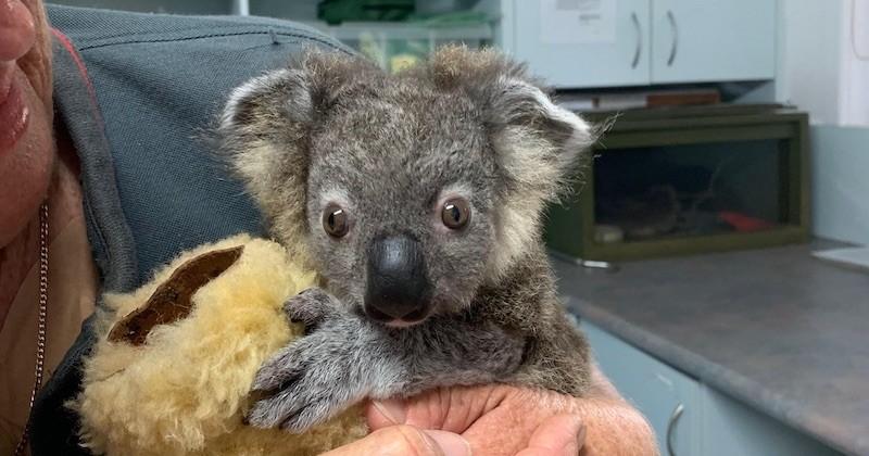 Australie : sauvé d'une mort certaine, ce petit koala guéri de ses brûlures va retrouver son habitat naturel, loin des incendies