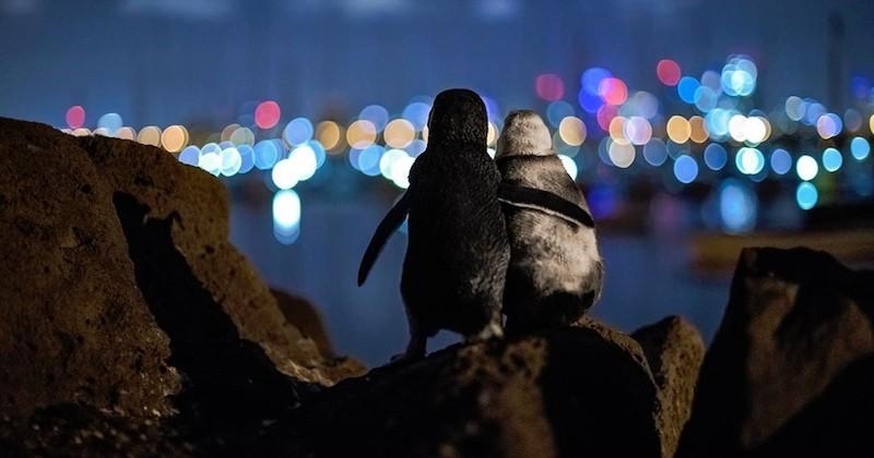 Il prend en photo deux pingouins veufs profitant ensemble de l'horizon de Melbourne