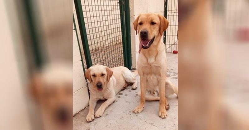 Natcho et Lully, les deux chiens d'aveugles volés, ont été restitués à l'association à laquelle ils appartiennent !
