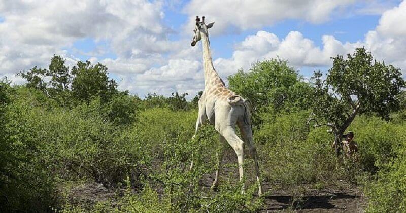 Kenya: la seule girafe blanche en vie est suivie grâce à un signal GPS pour être protégée des braconniers