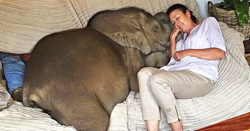 Il y a 5 ans elle sauvait un éléphanteau de la noyade, aujourd'hui il la prend pour sa maman et ne la quitte plus