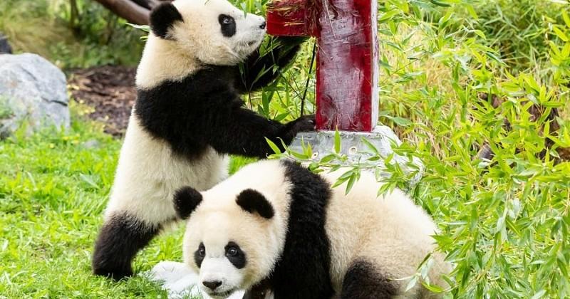 À Berlin, ces bébés pandas jumeaux viennent de fêter leur premier anniversaire