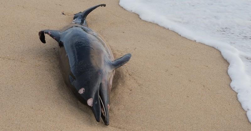 Depuis le début de l'année, plus de 600 cétacés sont morts dans le golfe de Gascogne, un triste record