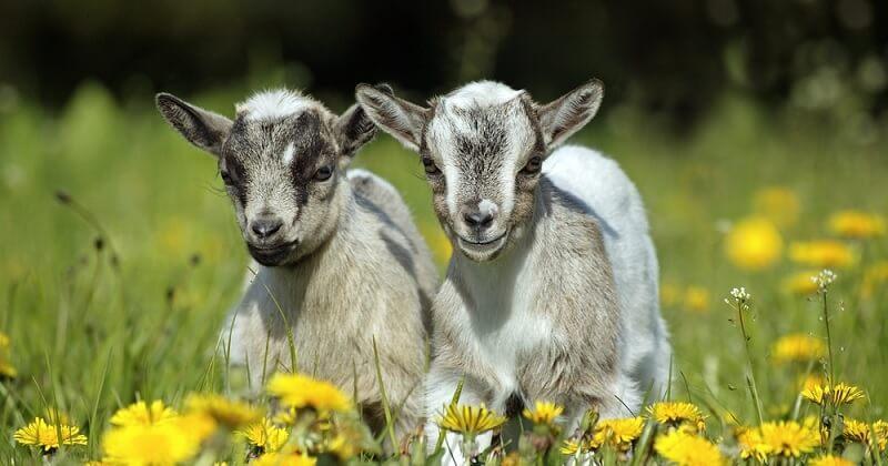 Une association propose d'adopter des chevreaux pour leur éviter l'abattoir