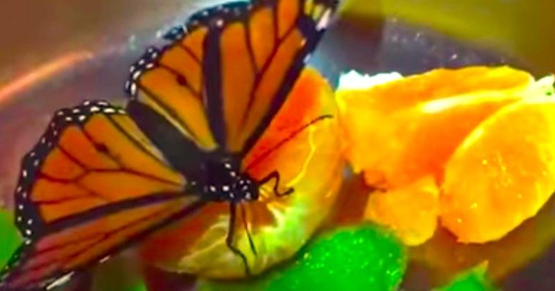Une jeune femme, Anika Helmer, a recueilli un papillon pendant un mois après l'avoir sauvé