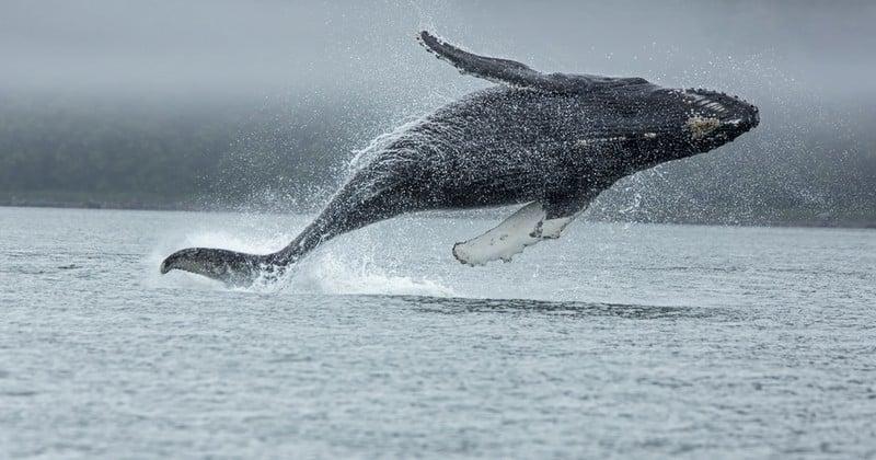 L'Islande connaît une réouverture de la chasse à la baleine, après une interruption de deux ans