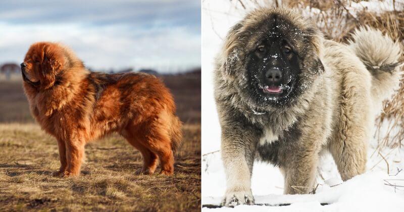 Ces 12 races de chien ressemblent vraiment à des peluches, pourtant elles sont bien réelles