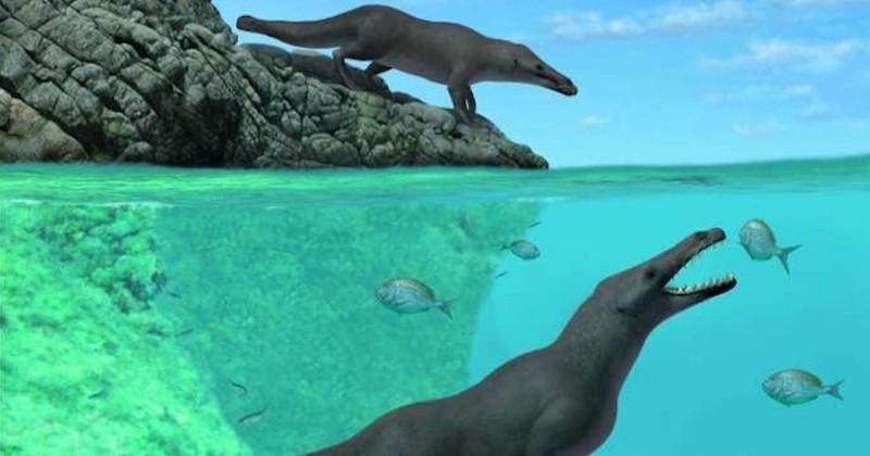 Un fossile de baleine à quatre pattes, vieux de 42 millions d'années, a été découvert au Pérou