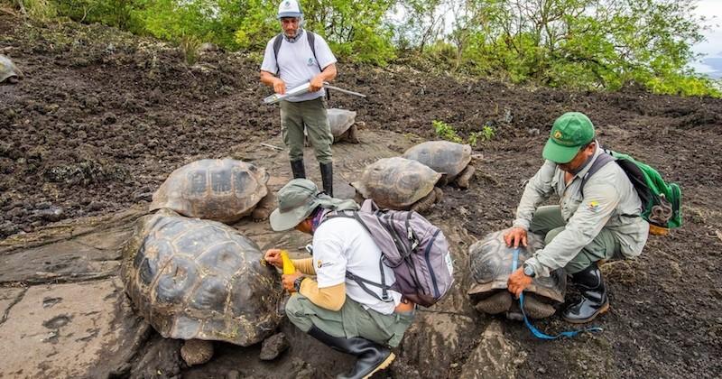 30 tortues géantes issues d'espèces disparues ont été retrouvées dans les îles Galapagos