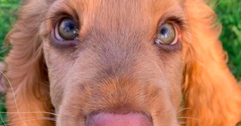 Winnie, le jeune cocker aux yeux de biche qui vous fera craquer
