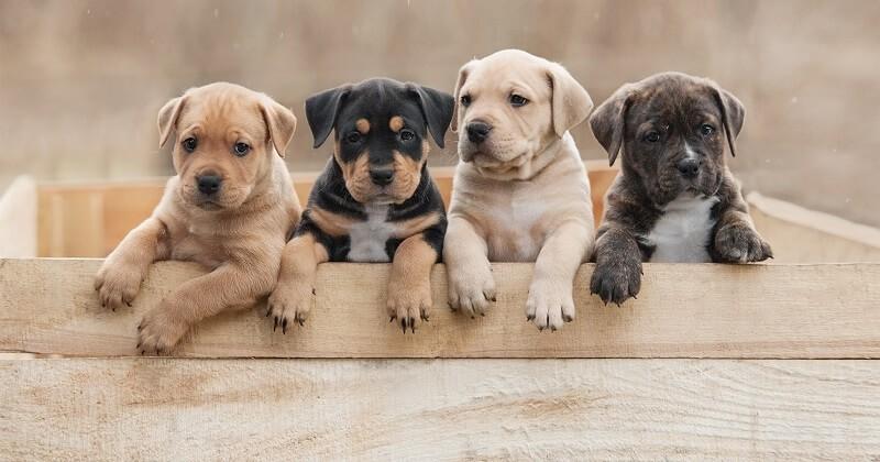 De nombreux chiens, achetés durant le confinement, sont abandonnés par leurs propriétaires