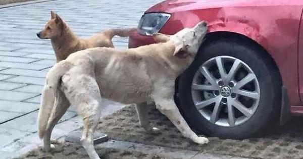 Après avoir reçu des coups de pieds par quelqu'un, un chien s'en prend à sa voiture !