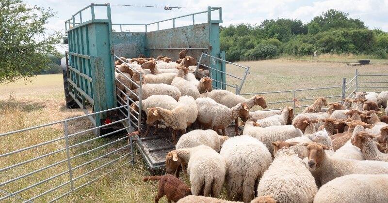 Bien-être animal : l'Angleterre et de le Pays de Galles vont interdire l'exportation d'animaux vivants d'ici fin 2021