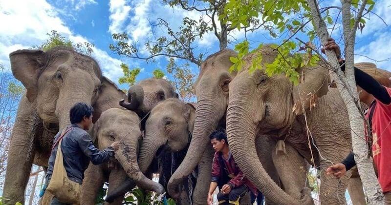 En Thaïlande, les éléphants retournent dans leurs habitats naturels avec l'absence des touristes