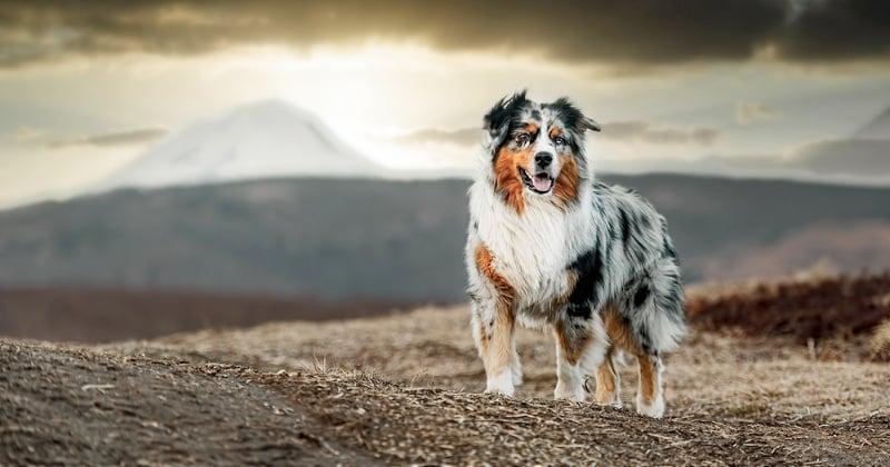 Berger Australien : les 10 choses à savoir sur cette race de chien
