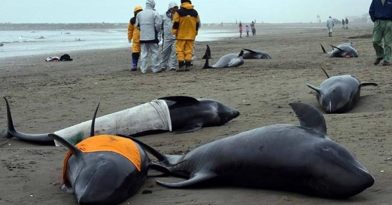 Depuis le début de l'année, plus de 1 100 dauphins se sont échoués sur la côte Atlantique