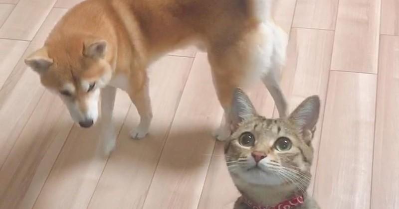 Ce chat prend un malin plaisir à embêter son ami chien