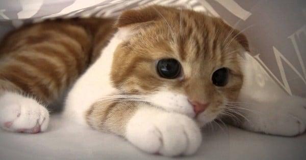d couvrez le munchkin la seule race de chat qui reste b b toute sa vie. Black Bedroom Furniture Sets. Home Design Ideas