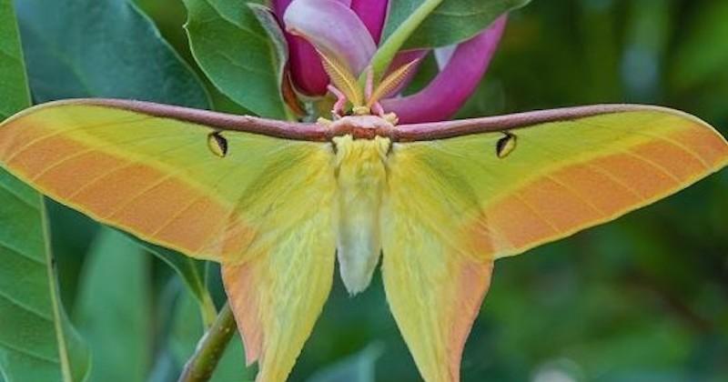 La transformation d'une petite chenille en un magnifique papillon lune chinois