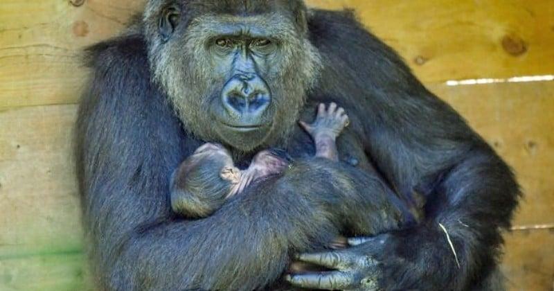 À Bristol, un bébé gorille d'une espèce en danger critique d'extinction voit le jour