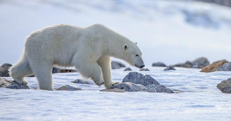 Extinction des ours polaires : victimes du réchauffement climatique, ils pourraient disparaitre en 2100