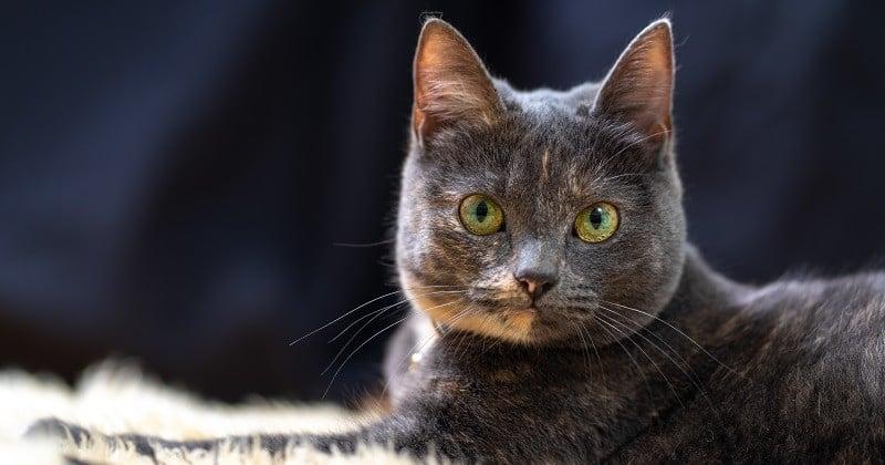Les chats nés après 2012 devront obligatoirement être identifiés avec une puce électronique ou un tatouage