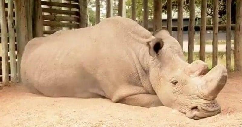 Mort de Sudan, le dernier mâle rhinocéros blanc du Nord, une espèce désormais au bord de l'extinction définitive
