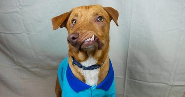 Prêt à être euthanasié car personne ne voulait l'adopter, ce chien au museau déformé a été sauvé d'une mort certaine: découvrez l'histoire émouvante de Picasso