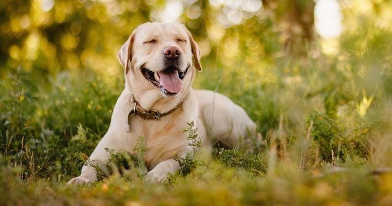 Un labrador tué par un chasseur dans la cour d'une maison