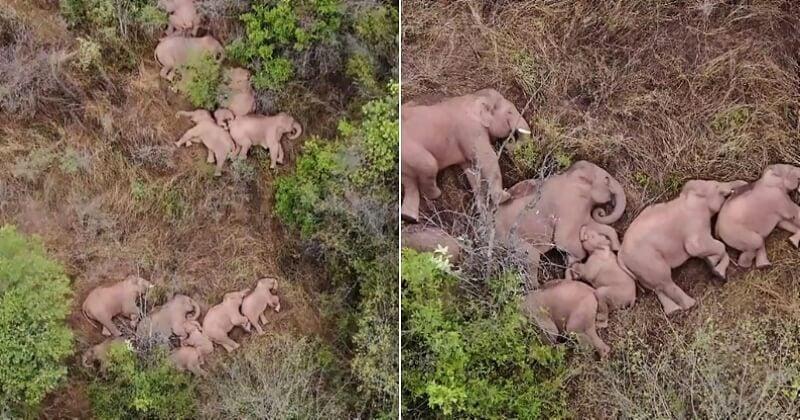 Filmée en train de faire une sieste, cette famille d'éléphants a émerveillé le monde entier