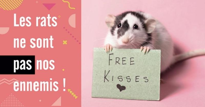 «Les rats ne sont pas nos ennemis» : une campagne pour casser les clichés sur les rongeurs