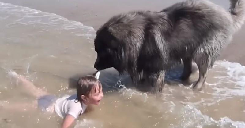 Pensant qu'elle se noyait, un chien traîne une petite fille hors de l'eau pour la sauver dans une vidéo attendrissante