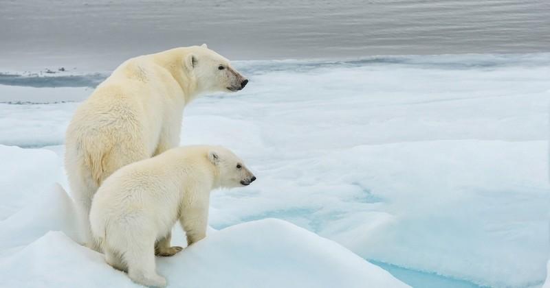 Le réchauffement climatique compromet la survie des ours polaires de manière irréversible en les empêchant de se nourrir