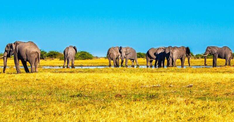 Au Botswana, les permis de chasse à l'éléphant sont vendus aux enchères