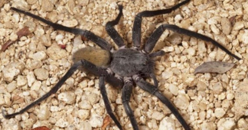 Mexique : Un nouveau spécimen d'araignée géante a été découvert par des chercheurs. Elle fait peur à voir !