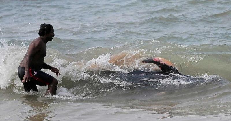 Pendant toute une nuit, des bénévoles ont sauvé 120 dauphins-pilotes échoués sur une plage du Sri Lanka