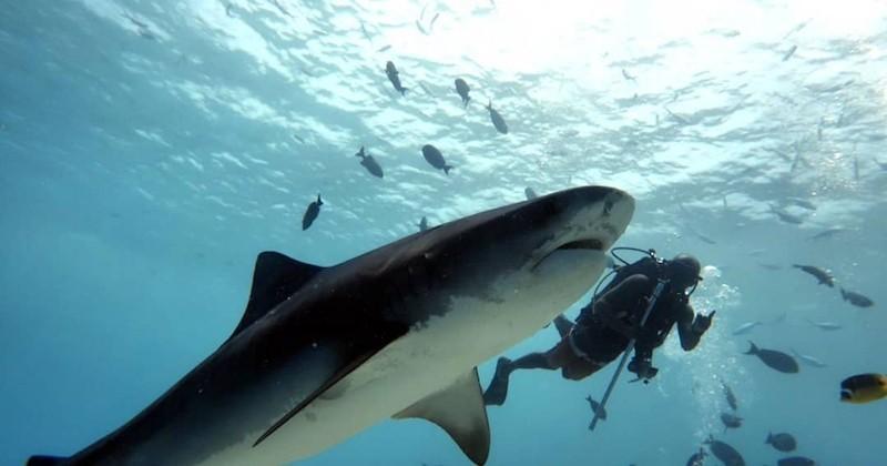 Aux Maldives, des plongeurs sauvent un requin-baleine coincé par une corde