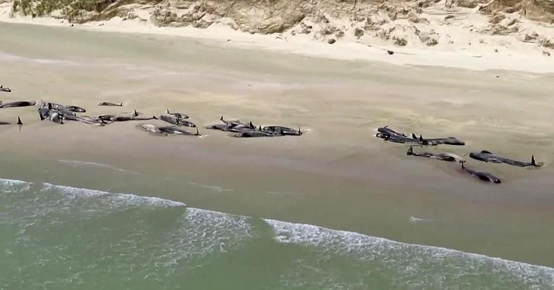 Près de 150 dauphins meurent échoués sur une plage de Nouvelle-Zélande