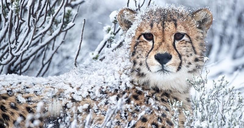 Afrique du Sud: des guépards ont été photographiés sous une tempête de neige