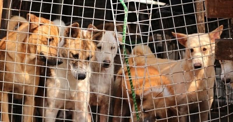 La consommation de viande de chien bientôt interdite en Corée du Sud ?